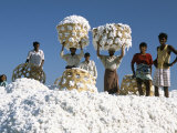 Mill Workers on Pile of Raw Cotton Balls on Deccan Plateau, Near Aurangabad, Maharashtra, India Photographic Print by Tony Waltham