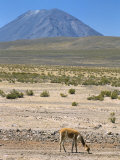 Vicuna Grazing on Altiplano Desert, El Misti Volcano Behind, Near Arequipa, Peru, South America Photographic Print by Tony Waltham