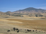 Montane Grasslands with Cattle Grazing in Front of Bale Mountains, Southern Highlands, Ethiopia Photographic Print by Tony Waltham