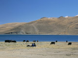 Yaks Graze by Yamdrok Lake Beside Old Lhasa-Shigatse Road, Tibet, China Lámina fotográfica por Tony Waltham