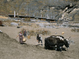 Ploughing Potato Fields with Yaks Below Old Langtang Village, Langtang, Nepal Photographic Print by Tony Waltham