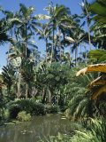 Coconut Palms and Fan Palms, Tropical Botanical Gardens, Hilo, Hawaiian Islands Photographic Print by Tony Waltham