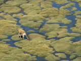 Vicuna Grazing on Moss at a Spring, Parque Nacional De Lauca, Chile, South America Photographic Print by Tony Waltham