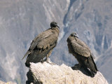 Two Condors at Cruz Del Condor, Colca Canyon, Peru, South America Reproduction photographique par Tony Waltham