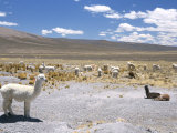 Domesticated Alpacas Grazing on Altiplano, Near Arequipa, Peru, South America Photographic Print by Tony Waltham