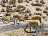 Vicunas Grazing on Moss at Spring, Parque Nacional De Lauca, Chile, South America Photographic Print by Tony Waltham