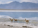 Wild Vicunas on Borax Mineral Flats, with Mineral Flat Margin, Bolivia Photographic Print by Tony Waltham