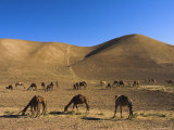 Camels, Between Herat and Maimana (After Bala Murghah), Afghanistan Photographic Print by Jane Sweeney