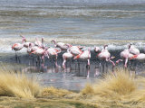 Flamingoes in Small Salt Lake Near Laguna Colorado, Southwest Highlands, Bolivia, South America Fotografie-Druck von Tony Waltham