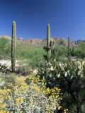 Tall Saguaro Cacti (Cereus Giganteus) in Desert Landscape, Sabino Canyon, Tucson, USA Photographic Print by Ruth Tomlinson