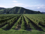 Rows of Vines in Vineyard, Gisborne, East Coast, North Island, New Zealand Photographic Print by D H Webster