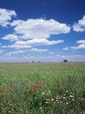 Field of Wild Flowers, Guadalajara, Castilla-La Mancha, Spain Photographic Print by Ruth Tomlinson