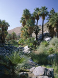 Palm Canyon, Palm Springs, California, USA Photographic Print by Ruth Tomlinson