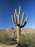Saguaro Cactus (Cereus Giganteus), Saguaro National Park (West), Tucson, Arizona, USA Photographic Print by Ruth Tomlinson