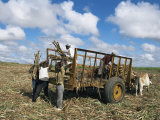 Sugar Cane Harvest, South Coast, Dominican Republic, West Indies, Caribbean, Central America Photographic Print by Guy Thouvenin