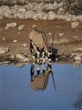 Oryx at Waterhole, Namibia, Africa Fotodruck von I Vanderharst