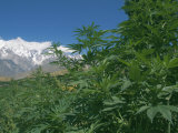 Marijuana Bushes, Near Hopar Glacier, Hunza, Pakistan Photographic Print by Jane Sweeney