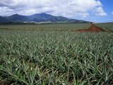 Fields of Pineapples Owned by Delmonte, Oahu, Hawaiian Islands, USA Photographic Print by D H Webster