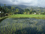 Rice Paddy Fields, Moni, Island of Flores, Indonesia Photographic Print by Jane Sweeney