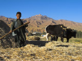 Boy Threshing with Oxen, Bamiyan Province, Afghanistan Photographic Print by Jane Sweeney