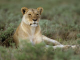 Lioness (Panthera Leo), Etosha, Namibia, Africa Fotografie-Druck von Steve & Ann Toon