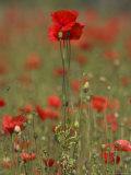 Poppies, Papaver Rhoeas, United Kingdom Photographic Print by Steve & Ann Toon