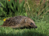 Hedgehog (Erinaceus Europaeus) in Suburban Garden, United Kingdom Photographic Print by Steve & Ann Toon