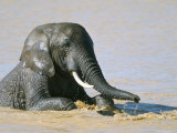 African Elephant (Loxodonta Africana) Bathing, Addo National Park, South Africa, Africa Photographic Print by Steve & Ann Toon