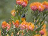 Orange-Breasted Sunbird, Anthobaphes Violacea, Kirstenbosch Botanical Garden, Cape Town Reproduction photographique par Steve & Ann Toon