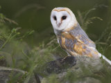 Barn Owl on Dry Stone Wall, Tyto Alba, United Kingdom Fotoprint van Steve & Ann Toon