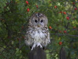 Tawny Owl (Strix Aluco), on Gate with Rosehips, Captive, Cumbria, England, United Kingdom Photographic Print by Steve &amp; Ann Toon
