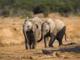 Baby Elephants, Playing in Addo Elephant National Park, South Africa Photographic Print by Steve & Ann Toon