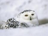 Captive Snowy Owl (Nictea Scandiaca) Photographic Print by Steve & Ann Toon