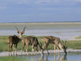 Greater Kudu (Tragelaphus Strepsiceros) Males at Seasonal Water on Etosha Pan, Namibia, Africa Photographic Print by Steve & Ann Toon