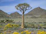 Quiver Tree (Aloe Dichotoma), Goegap Nature Reserve, Namaqualand, South Africa, Africa Photographic Print by Steve & Ann Toon