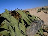 Welwitschia (Welwitschia Mirabilis), Namib Desert, Namibia, Africa Photographic Print by Steve & Ann Toon