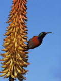Greater Doublecollared Sunbird (Nectarinia Afra), Greater Addo National Park, South Africa, Africa Photographic Print by Steve & Ann Toon