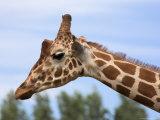 Reticulated Giraffe (Giraffa Camelopardalis Reticulata), Captive, Native to East Africa, Africa Photographic Print by Steve & Ann Toon