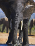 Elephant, Bull at Hapoor Waterhole in Addo Elephant National Park, South Africa Photographic Print by Steve & Ann Toon