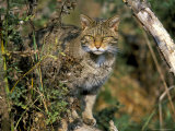Captive Wild Cat (Felis Sylvestris), United Kingdom Photographic Print by Steve & Ann Toon