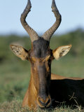 Red Hartebeest (Alcelaphus Buselaphus), Addo National Park, South Africa, Africa Photographic Print by Steve & Ann Toon