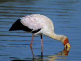 Yellow-Billed Stork (Mycteria Ibis), Kruger National Park, South Africa, Africa Photographic Print by Steve & Ann Toon