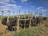 Ostriches, Struthio Camelus, on Ostrich Farm, Western Cape, South Africa, Africa Photographic Print by Steve & Ann Toon