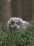 European Eagle Owl Chick, Bubo Bubo, Five Weeks Old, Captive, United Kingdom Photographic Print by Steve & Ann Toon