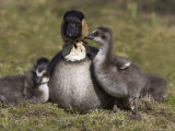 Nene, Branta Sandvicensis, Hawaiian Goose with Goslings, Burscough Photographic Print by Steve & Ann Toon