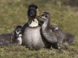 Nene, Branta Sandvicensis, Hawaiian Goose with Goslings, Burscough Photographic Print by Steve & Ann Toon