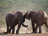 Elephants, Loxodonta Africana, Fighting in Addo Elephant National Park, Eastern Cape, South Africa Photographic Print by Steve & Ann Toon