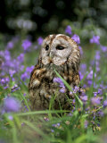 Captive Tawny Owl (Strix Aluco) in Bluebells, United Kingdom Fotoprint van Steve & Ann Toon