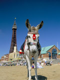 Seaside Donkey on Beach with Blackpool Tower Behind, Blackpool, Lancashire, England Stampa fotografica di Steve & Ann Toon