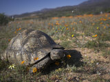 Leopard Tortoise, Geochelone Pardalis, in Namaqua National Park, Northern Cape, South Africa Photographic Print by Steve & Ann Toon
